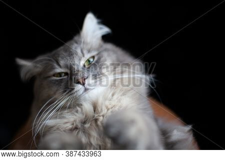 Close Up Portrait Of Aping Purring Cute Gray Cat. Muzzle Of Gray Striped Fluffy Domestic Cat On Dark