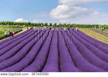 Starovicky, Czech Republic - July 7 2020: People Taking Pictures In Front Of Beautiful Purple Lavend
