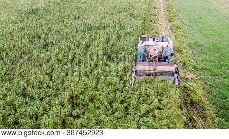 Aerial View Of Hemp Combine Harvester Collecting Cannabis Sativa Plants For Cbd Production On A Farm