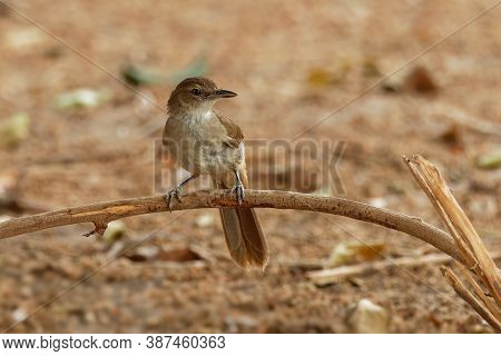 Terrestrial Brownbul - Phyllastrephus Terrestris Songbird Inbulbul Family Pycnonotidae, In Eastern A