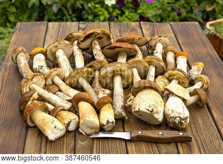 Autumn Fall Composition. Various Raw Edible Boletus Mushrooms Leccinum On Rustic Table With Knife. C