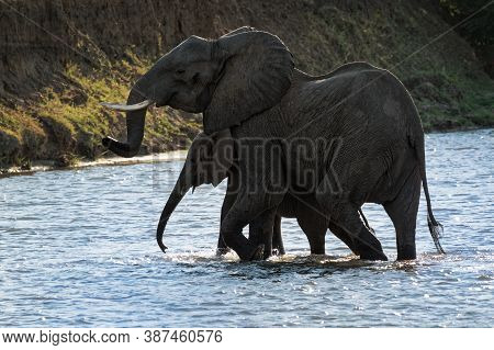 African Bush Elephant - Loxodonta Africana Pair Two Elephants Bathing In The River Zambezi, Mana Poo