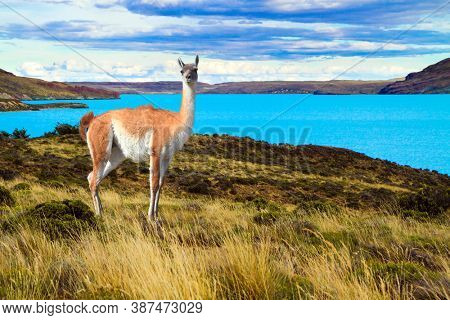 Guanaco is a wild humpbacked camel that lives in South America. Huge lake with azure water and cold mountains.Argentina, Patagonia. Los Glaciares Natural Park