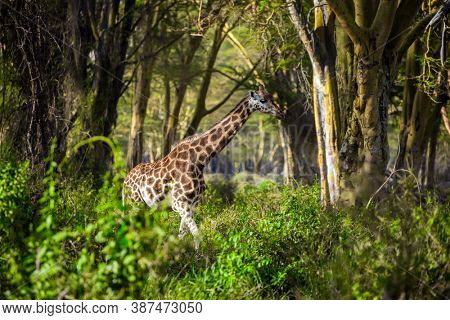 The large picturesque giraffe grazes among the thickets of desert acacia. Kenia. African savannah on the shores of Lake Nakuru. Travel to the Horn of Africa