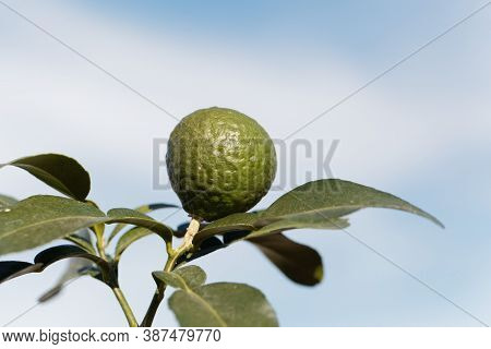 Fruit On A Kaffir Lime Tree, Citrus Hystrix