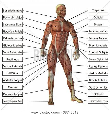 High resolution concept or conceptual 3D human anatomy and muscle isolated on white background as metaphor to body,tendon,spine,fit,builder,strong,biological,skinless, shape,posture,health or medical poster