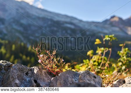 Blooming Bush Of Roberts Geranium Grows In A Crack Of A A Rock Against A Background Of Mountains