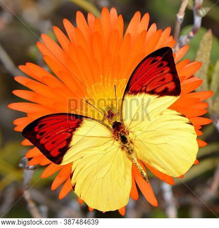 Great Orange Tip Butterfly Latin Name Hebomoia Glaucippe On A Livingstone Daisy Latin Name Mesembrya