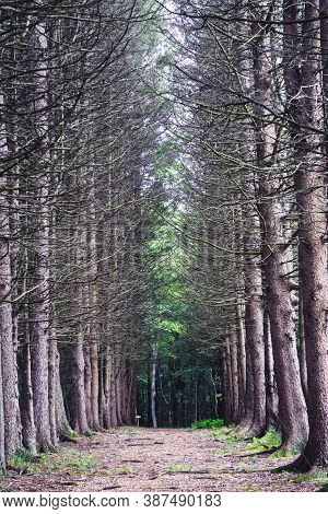 Empty Pine Tree Alley. Beautiful And Mysterious Walkway Lane Path In Forest During Summer