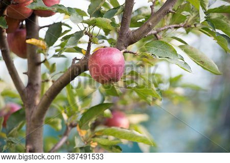 Harvest Is Ripe. Apple Garden On Natural Landscape. Apple Tree Grow In Fruit Garden. Orchard Crops.