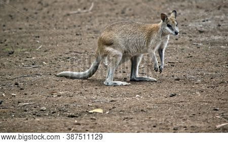 The Agile Wallaby Is A Tall Wallaby, It Is Tan, Grey And White.  They Have A White Cheeks.