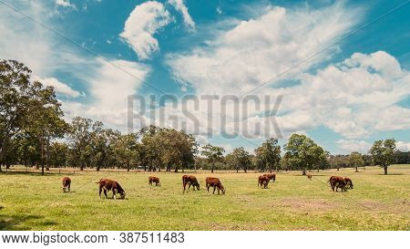 Cows Grazing On A Dairy Farm In Adelaide Hills Area, South Australia