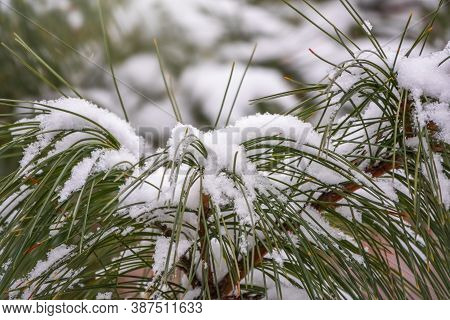 Cedar Branches With Long Fluffy Needles In Winter Covered With Snow. Pinus Sibirica, Or Siberian Pin