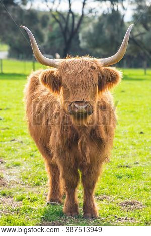 The Scottish Highland Cow In Green Grass Field. Highland Cows Are Icons Of Scotland, They Have Long