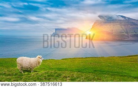 Sheep in Faroe Islands, In Background Beautiful Scene Of Mountain With  The Cloud, Faroe Islands