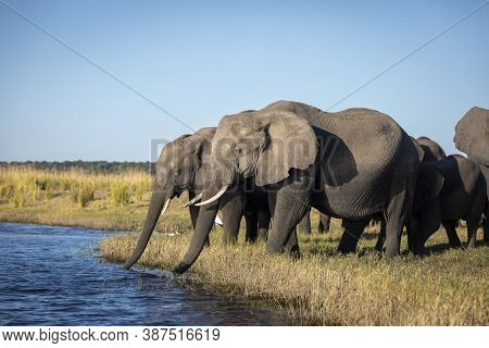 Elephant Herd Standing At The Edge Of Chobe River In Golden Afternoon Light In Botswana