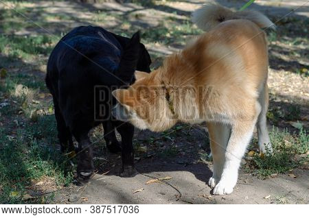 Japanese Akita Inu Puppy Meets An Adult Black Labrador In A Dog Park. 5 Month Old Akita Puppy And 11
