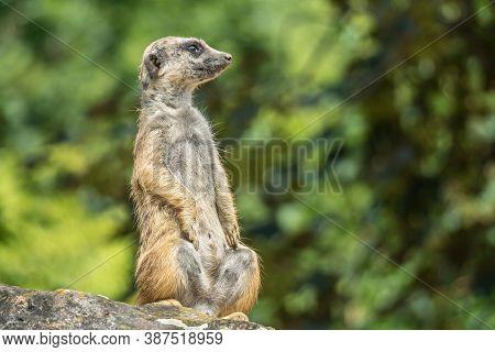 Standing Meerkat Watching Around - Guarding Concept