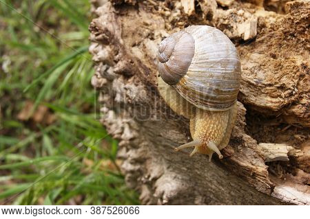 An Ordinary In Shell Garden Snail Crawling On A Stump. Summer Day In The Garden. Nature.