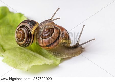 Snails With Leaf Of Cabbage Isolated On White Background