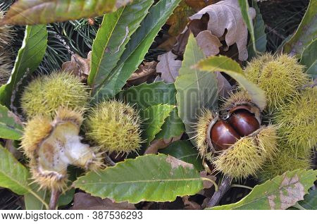 Close On A  Fresh Chestnuts In Its Husk  And Falled On The Ground  In Leaves