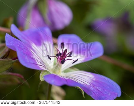 Closeup Of A Beautiful Purple Cranesbill Geranium Flower In A Garden Showing The Stamens And Anthers