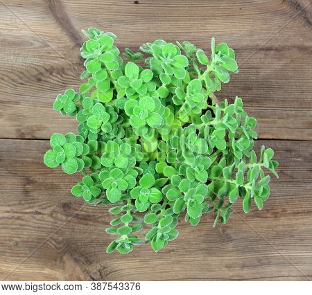 Potted Indian Borage, Plectranthus Amboinicus. It Is Used As Curative And Food Plant. Good Against A