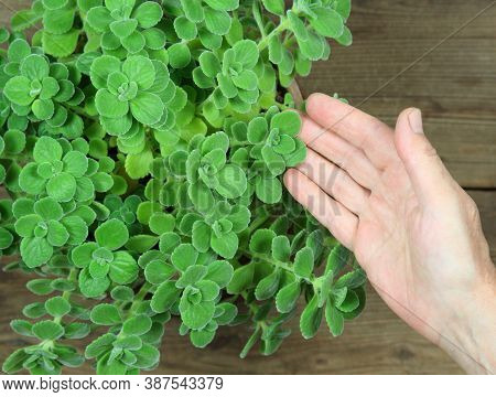 Gardener Holding Indian Borage, Plectranthus Amboinicus. It Is Used As Curative And Food Plant. Good