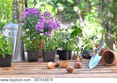 Bulbs Of Flowers On A Garden Table In Front Of Flowers Potting And Gardening Equipment On Wooden Tab