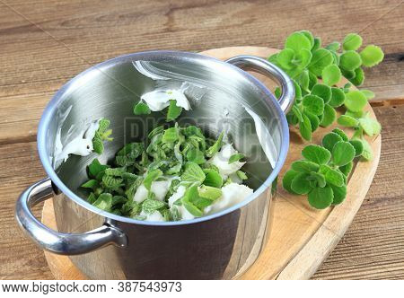 Making Ointment From Cut Indian Borage, Plectranthus Amboinicus. It Is Used As Curative And Food Pla