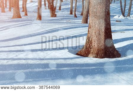 Winter forest landscape, forest trees and snowdrifts on the foreground. Winter snowy forest scene with falling snowflakes, forest winter view. Winter forest landscape, winter forest trees in the morning