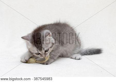 Silver British kitten close up