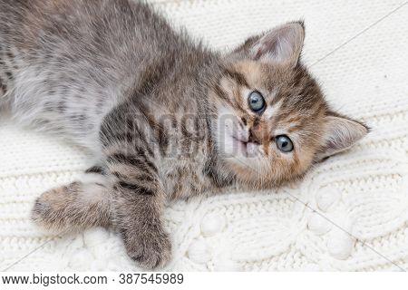 Small tabby kitten close up
