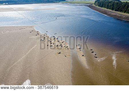 Aerial View Of Seal Colony Resting On Sandbanks In County Donegal - Ireland