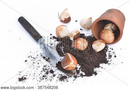 Tulips Bulbs In Soil With A Little Shovel And A Flower Pot Spilled On White Background