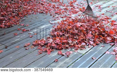 Rake In Heap Of Red Leaves Of Japanese Maple Falled On A Wooden Terrace
