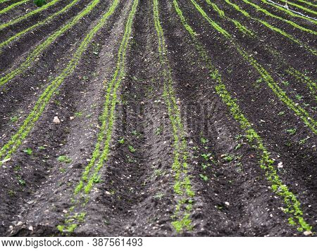 Detail Of A Cultivated Field. Regular Furrows With A Green Crop.
