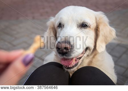 Close-up Of A Senior Labrador Retriever Sitting On The Road Tiles In The City Park And Waiting For T