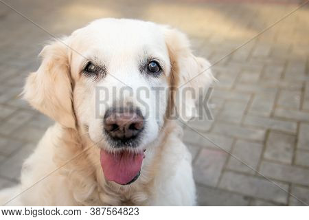 Close-up Portrait Of A Happy Labrador Retriever With His Tongue Hanging Out With Copy Space. The Con