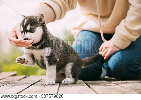 Four-week-old Husky Puppy Of White-gray-black Color Eating From Hands Of Owner And Help With Paw.