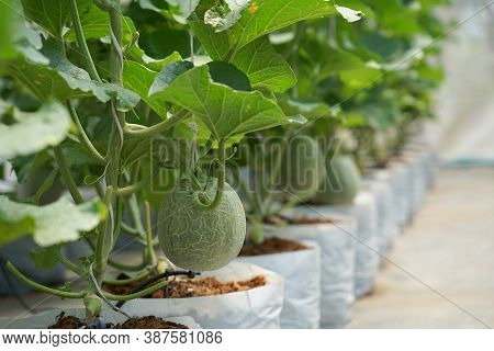 Baby Cantaloupe Organic Fruit Growth In The Greenhouse Farm Good Nutrition And Vitamins For Healthy