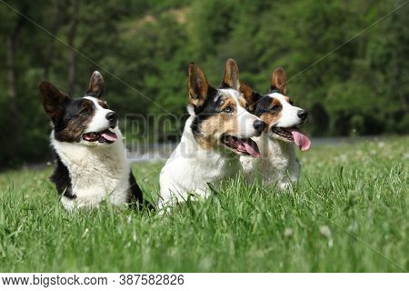 Three Dogs, Welsh Corgi Cardigan