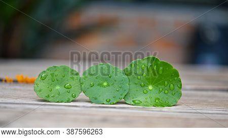 Centella Asiatica(linn.), Asiatic Pennywort Leave  ;gotu Kola Leave On Wood. Green Herb Leaves On Wo