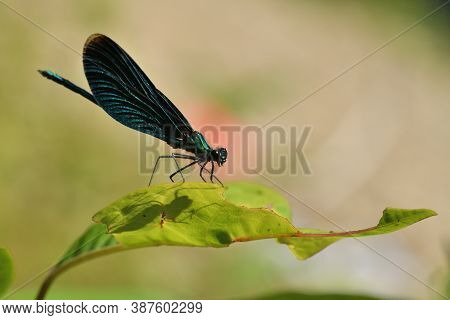 Banded Demoiselle Lurks For Prey On The Grass Over Flowing River Water