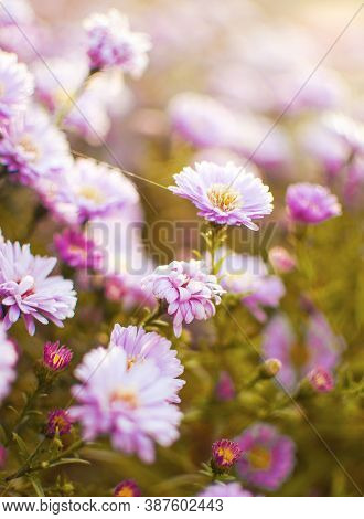 Beautiful Fresh Daisies Bloom Outdoors In The Field