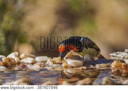 Black Collared Barbet Drinking In Waterhole In Kruger National Park, South Africa ; Specie Lybius To