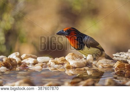 Black Collared Barbet In Kruger National Park, South Africa ; Specie Lybius Torquatus Family Of Ramp