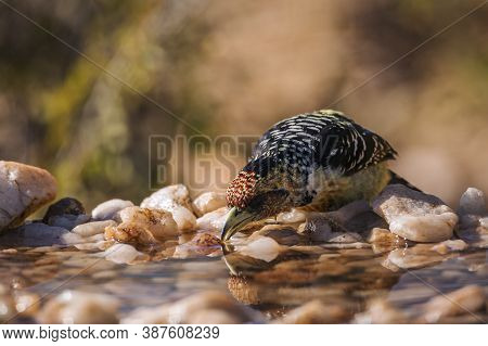 Crested Barbet Drinking In Waterhole In Kruger National Park, South Africa ; Specie Trachyphonus Vai