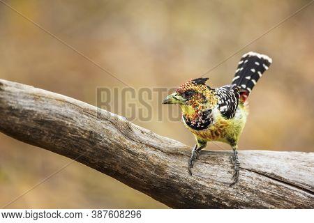 Crested Barbet Standing On A Log In Kruger National Park, South Africa ; Specie Trachyphonus Vaillan