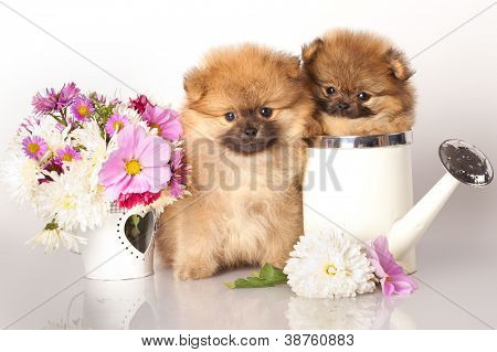 Two German (Pomeranian) Spitz puppies and flowers on white background